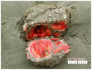 Pyura_chilensis_living_rock.jpeg